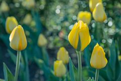 Yellow tulips on green blurred background stock photo