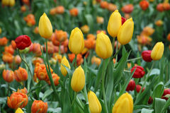 Yellow tulips. Group of yellow tulips in the garden Royalty Free Stock Photo