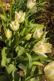 Yellow tulips grow in my garden.. Tulips grow in the garden in April and please the eye Stock Image