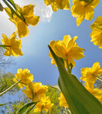 Yellow tulips grow to blue sky Royalty Free Stock Photography