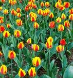 Yellow tulips grow Stock Photography
