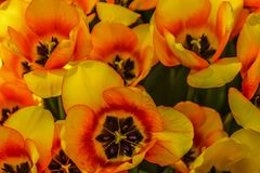 The yellow tulips grows on the exhibition stock photo