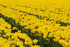 Yellow tulips in Holland Royalty Free Stock Image