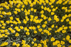 Free Yellow Tulips In Dutch Flower Field Seen From Above Stock Image - 71619861