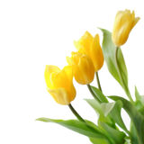 Yellow tulips isolated Royalty Free Stock Photography
