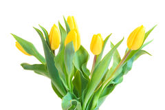 Yellow tulips isolated. Bunch of Yellow tulips  isolated on white background Stock Photography