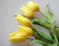 Yellow tulips Stock Photos