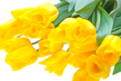 Yellow tulips isolated on white. Background Royalty Free Stock Images