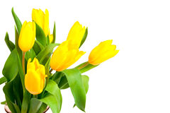 Yellow tulips isolated on a white Stock Photo