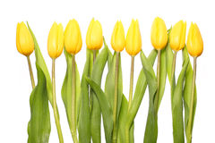 Yellow Tulips isolated on white Royalty Free Stock Image