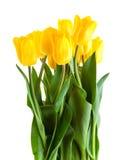 Yellow tulips isolated on white. Background Stock Photo