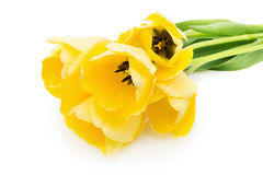 Yellow tulips isolated on the white background Stock Photo