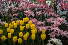 Yellow tulips and Lilly flowers garden Royalty Free Stock Image