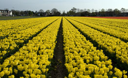 Yellow tulips lisse Royalty Free Stock Photos