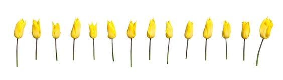 Yellow tulips margin Stock Photos