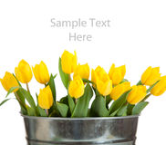 Yellow tulips in a metal pail on white Royalty Free Stock Photo