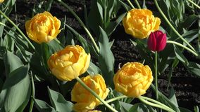Yellow tulips and morning dew stock footage