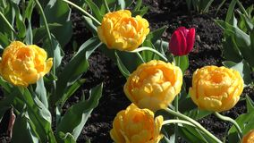 Yellow tulips and morning dew stock video