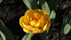 Yellow tulips and morning dew stock video footage