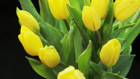 Yellow Tulips Moving stock footage