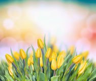Yellow tulips on multicolor bokeh background Royalty Free Stock Photo