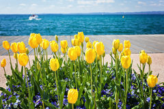 Yellow tulips near lake Stock Image