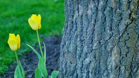 Yellow tulips near a tree stock video