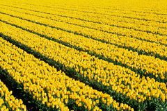 Yellow tulips with one red Royalty Free Stock Photos
