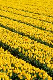 Yellow tulips with one red Royalty Free Stock Photo