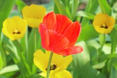 Yellow tulips and one red on a background of yellow stock images