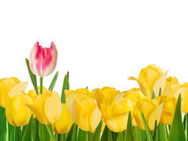 Yellow tulips and one red. EPS 8 Royalty Free Stock Photography