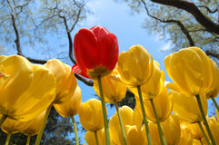 Yellow tulips and one red Stock Images