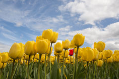 Yellow tulips and one red tulip Royalty Free Stock Images