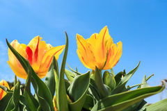 Yellow tulips over the blue sky Stock Images