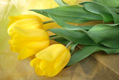 Yellow tulips over organza fabric Royalty Free Stock Images