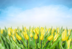 Yellow tulips over sky , spring flowers background Stock Photography