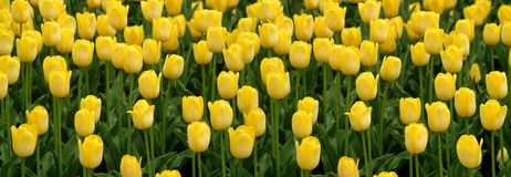 Yellow Tulips Panorama Stock Photos