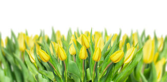 Yellow tulips panorama, isolated on white Royalty Free Stock Image