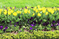 Yellow tulips and pansies on the flowerbed stock photography