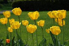 Yellow tulips in a park Stock Photos