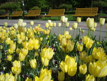 Yellow tulips in park. Park spring landscape with yellow tulips and brown benches Royalty Free Stock Photo