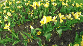 Yellow tulips in park. Steadicam pans camera on yellow tulips in park stock video