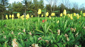 Yellow tulips in park. Steadicam pans camera on yellow tulips in park stock footage