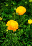 Yellow tulips. Royalty Free Stock Image
