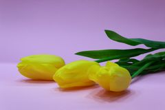 Yellow tulips on pink background Royalty Free Stock Photo