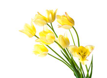 Yellow tulips with a pink fringe Stock Image