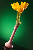 Yellow tulips in a purlpe vase on green background Royalty Free Stock Photos