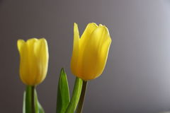 Yellow Tulips. On a purple background Stock Photography