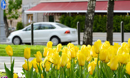 Yellow tulips after rain on a city boulevard with cars and street cafe on a spring day Royalty Free Stock Image