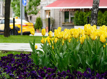 Yellow tulips after rain on a city boulevard with street cafe on a spring day Royalty Free Stock Photography